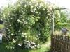 Her er en vild busk der trænger til lidt støtte fra et hjemmelavet espalier