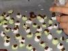pebermynte-pastiller_klar