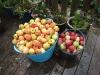 Så er der samlet æbler sammen til lækker æblesaft