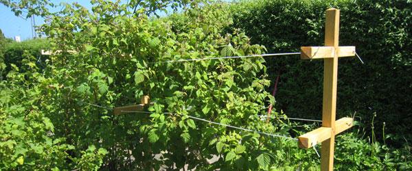 Hindbær i pæne rækker